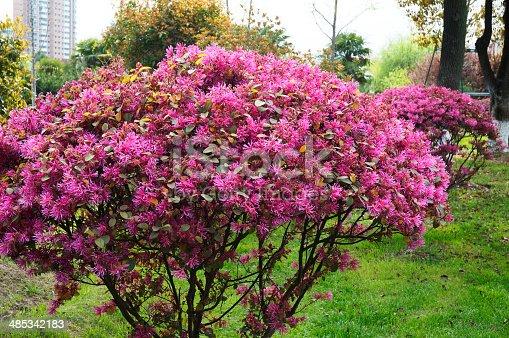 istock Loropetalum Chinense Var. Rubrum 485342183