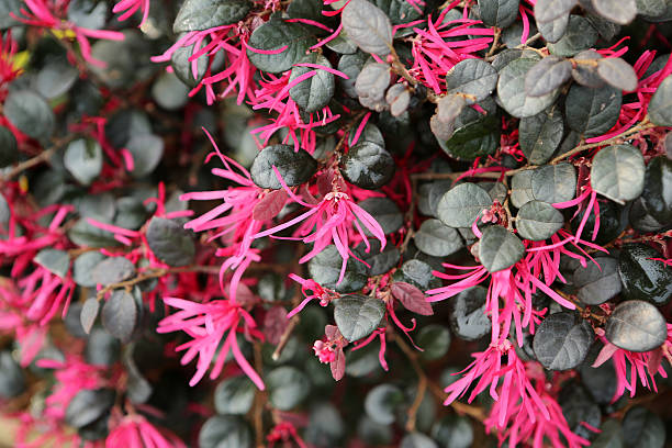 Loropetalum Chinense var Rubrum stock photo