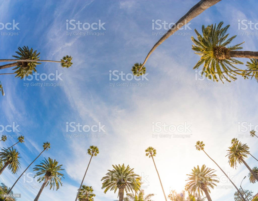 Los Angeles Palm Trees stock photo