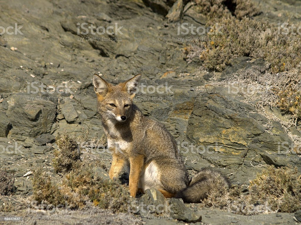 Los Choros fox royalty-free stock photo