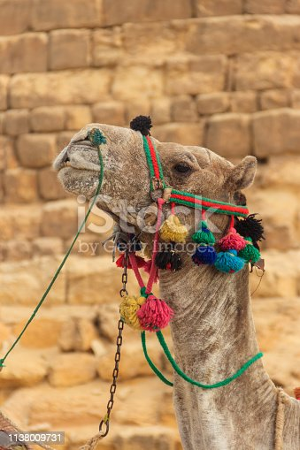 883177796istockphoto Ð¡lose-up of camel on the Giza pyramid background 1138009731