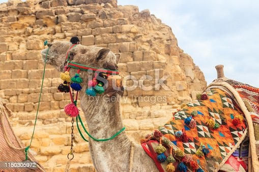 883177796 istock photo Ð¡lose-up of camel on the Giza pyramid background 1150305972