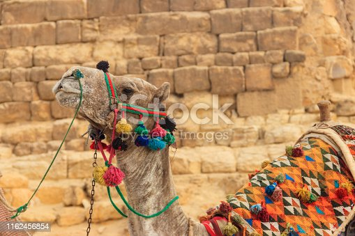 883177796istockphoto Ð¡lose-up of camel on the Giza pyramid background 1162456854