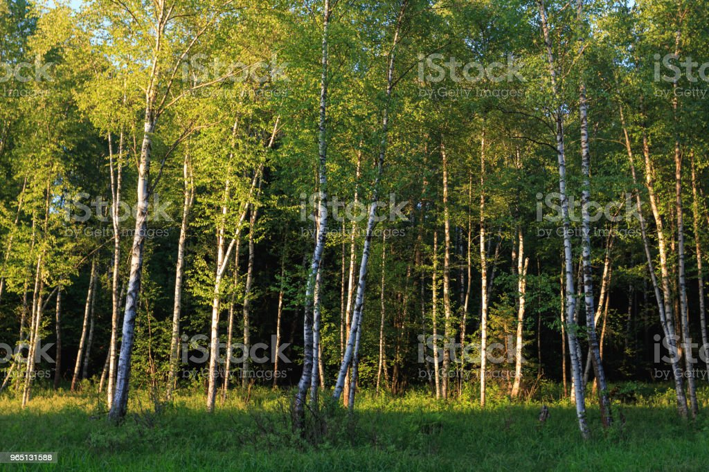 Losiny Ostrov (Elk Island) National Park. Birch grove at sunset. The yellow rays of the sun illuminate the trees. Green leaves and grass in the forest royalty-free stock photo
