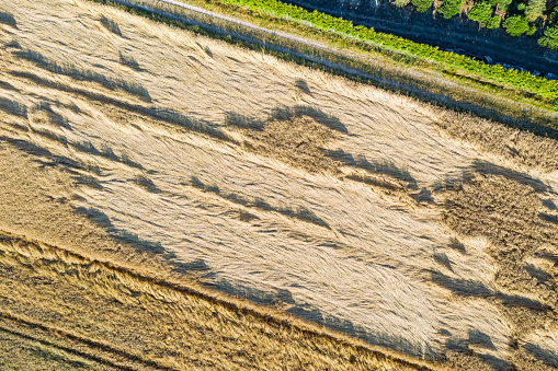 Losses in agriculture, aerial view of destroyed field of grain