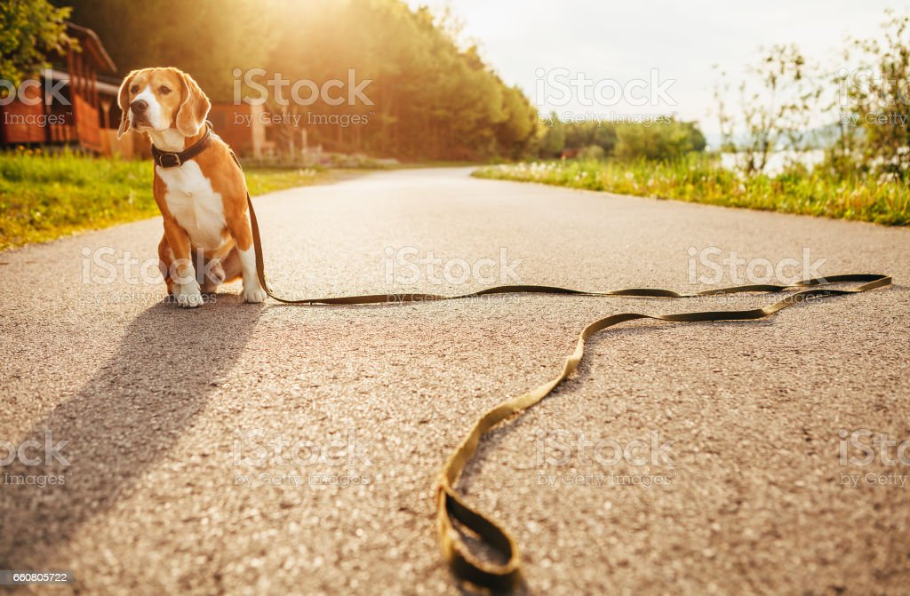Lost beagle dog sits alone on the road stock photo
