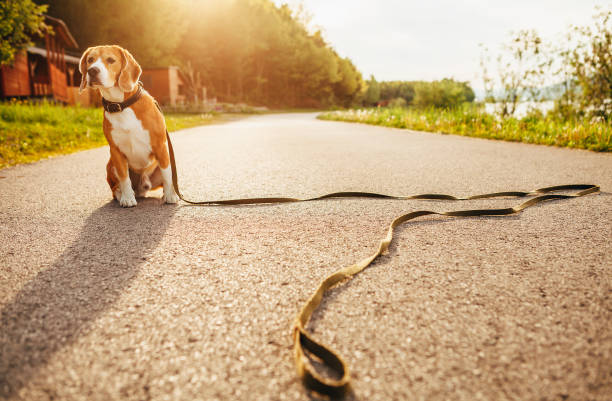 lost beagle dog sits alone on the road - lost stock photos and pictures