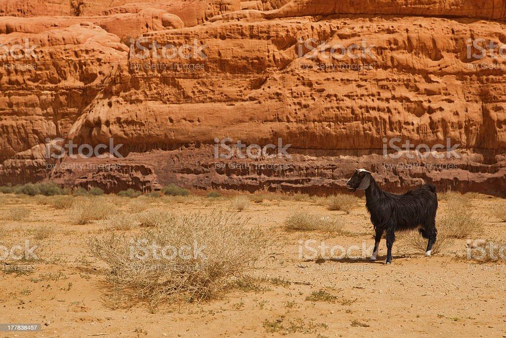 Lost goat in rocky Wadi rum desert royalty-free stock photo