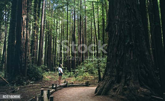 A young girl is dwarfed by the giant redwoods