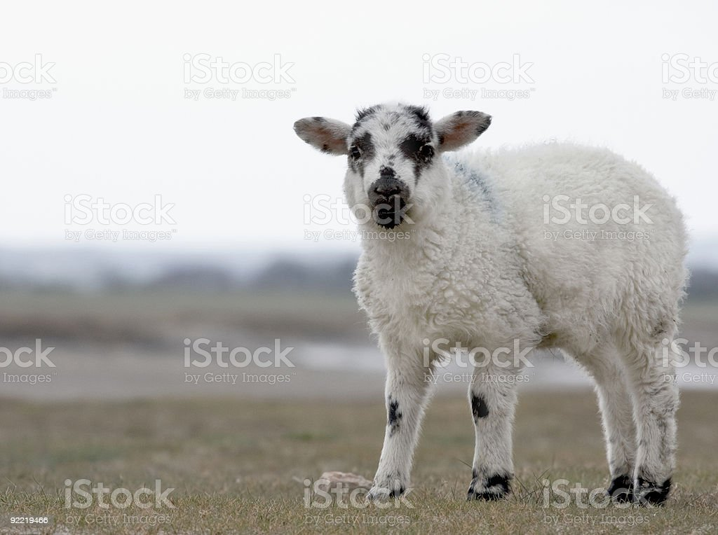 lost lamb royalty-free stock photo