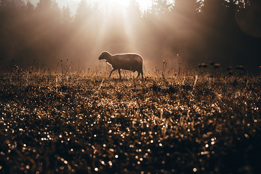 Lost sheep on autumn pasture. Concept photo for Bible text about Jesus as sheepherder who cares for lost sheep