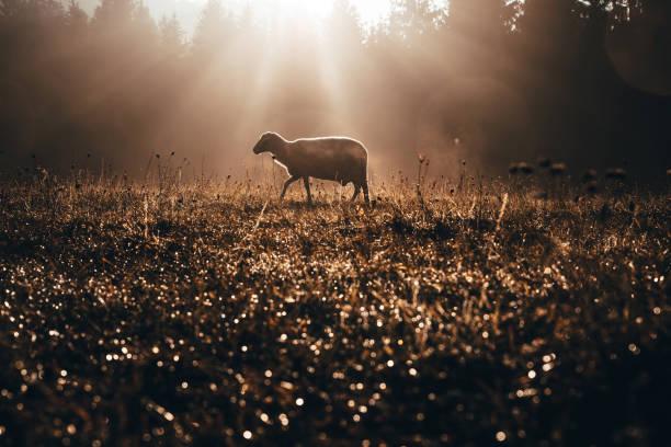 verloren schapen op de weide van de herfst. concept foto voor bible text over jezus als sheepherder die zich om het verloren schaap bekommert - schaap stockfoto's en -beelden