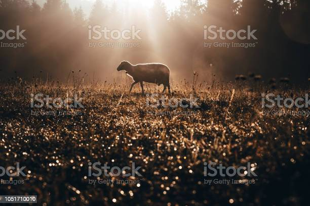 Photo of Lost sheep on autumn pasture. Concept photo for Bible text about Jesus as sheepherder who cares for lost sheep