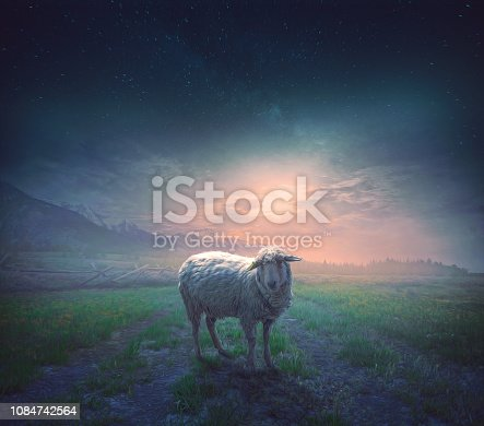 A sheep wanders away from the others and is lost at night