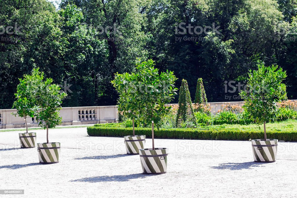 Lot Lime green trees with fruits wooden tubs royalty-free stock photo