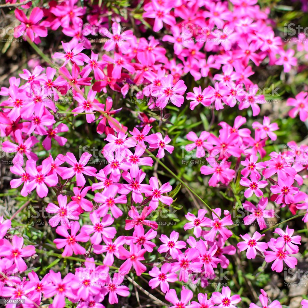 Lot Little Pink Flowers Macro Photo Stock Photo More Pictures Of