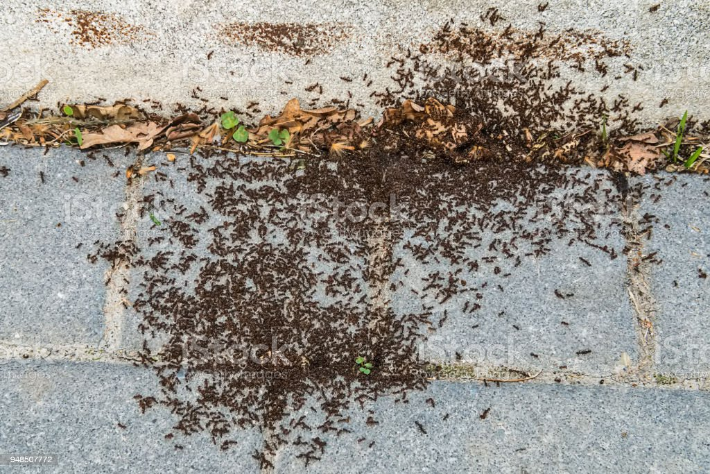 Lot of ants traveling in a row on the stock photo