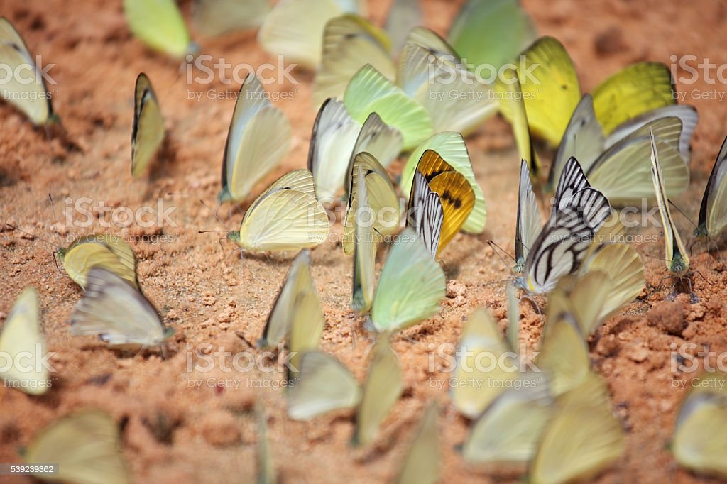 lot of beautiful butterfly as background. royalty-free stock photo