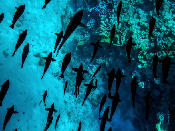 A lot of black silhouettes of fish swimming over coral reefs underwater in the Red Sea, top view stock photo