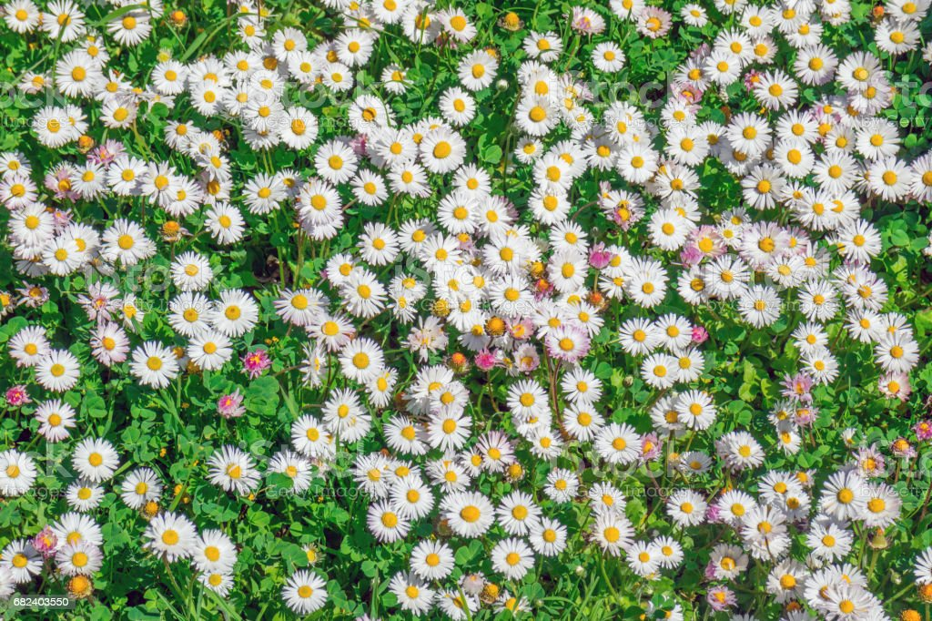 Lot of daisies in garden royalty-free stock photo