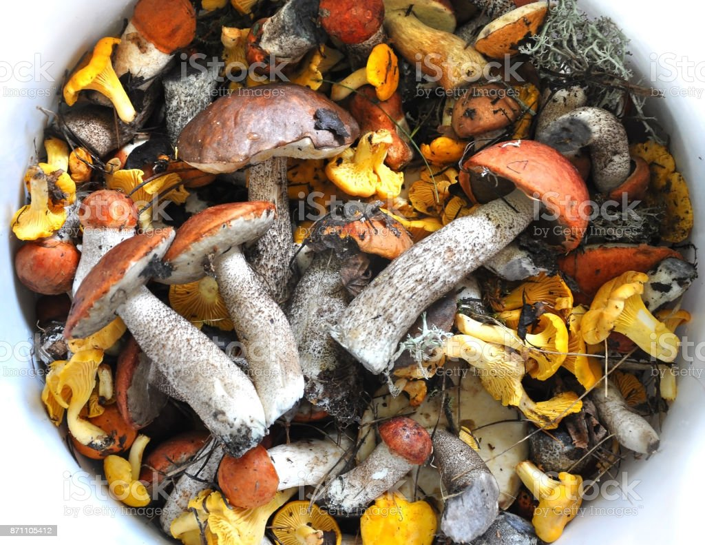 A lot of different edible mushrooms chanterelles and boletus in white bowl with water. stock photo