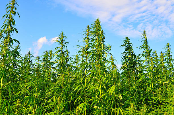 A lot of hemp growing on a hemp farm stock photo