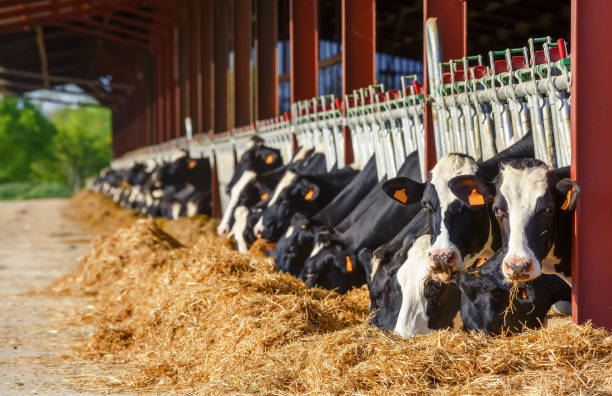 lot of holstein cow eating in a milk production farm - nutrire foto e immagini stock