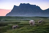 istock Lot of lambs pastures in meadow at summer night in Lofoten, Norway 846805770