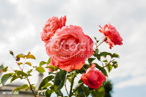 Lot of lovely pink flowers of dogrose on the background of green leaves bloom in the summer. Flowers