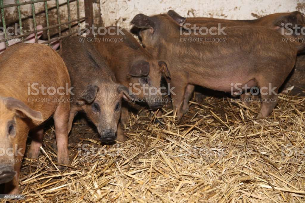 Lot Of Newborn Piglets At A Modern Bio Animal Farm Royalty Free Stock Photo