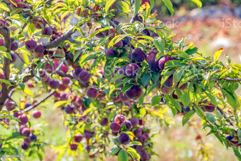 Um monte de ameixas da árvore de ameixa - foto de acervo