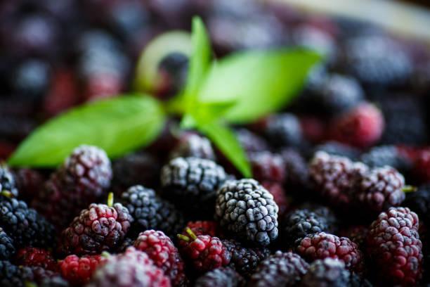 a lot of ripe frozen mulberry - amoreiras imagens e fotografias de stock
