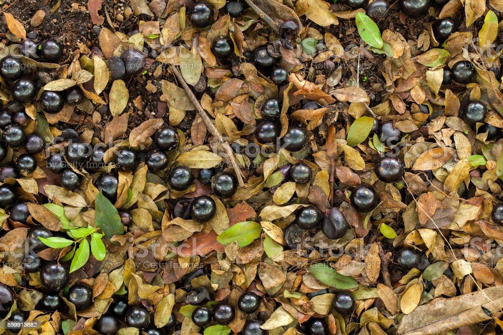 たくさん熟した Jaboticaba の地面を平らに置く本格的なフルーツで落ち ...