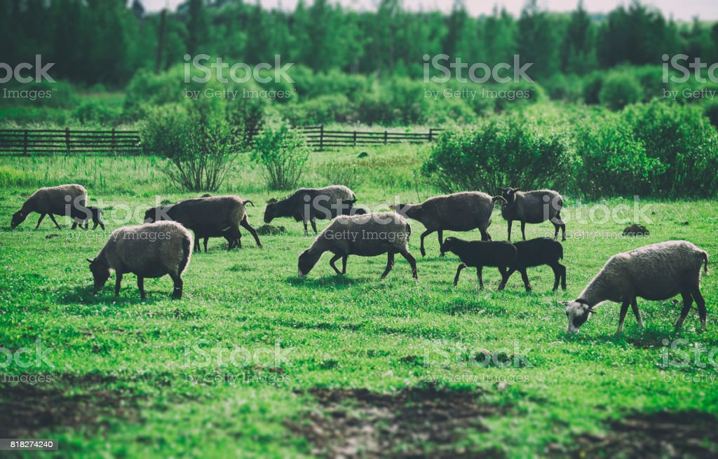 A lot of sheep grazing on pasture. stock photo