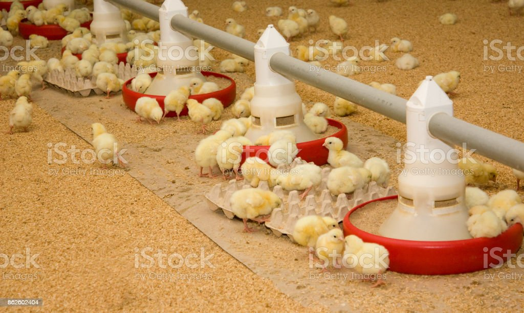 A lot of small chickens at the poultry farm stock photo