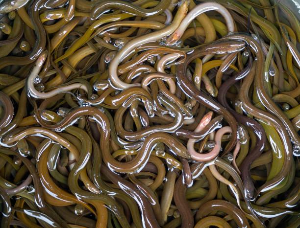 beaucoup de petites anguilles dans le panier sur le marché - Photo