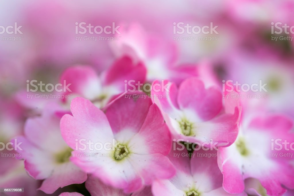 A lot of small flowers of a purple color royalty-free 스톡 사진