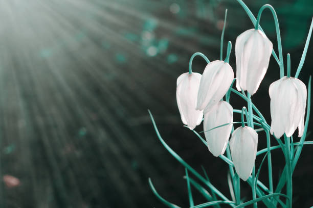A lot of white flowers bloom in the spring in the sun at sunset. Spring summer floral dark turquoise background with soft focus, copy-space. stock photo