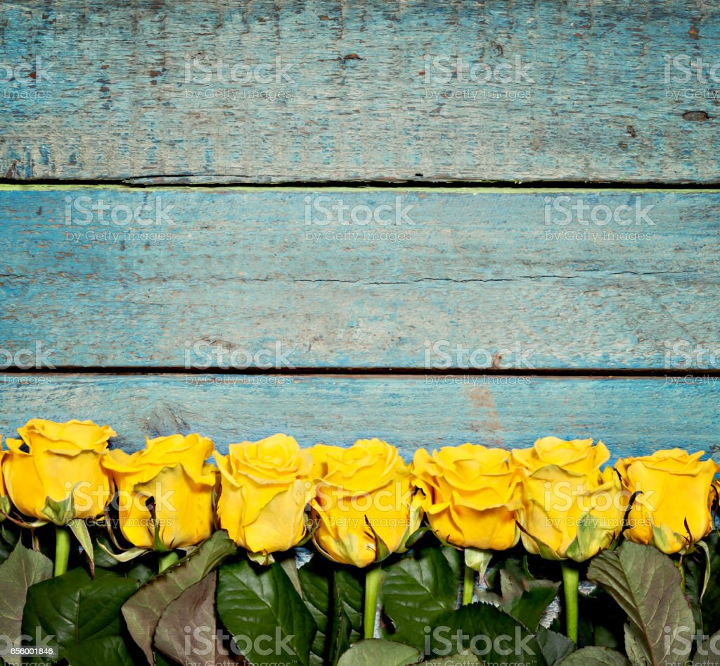 lot of yellow roses on a blue wooden background stock photo