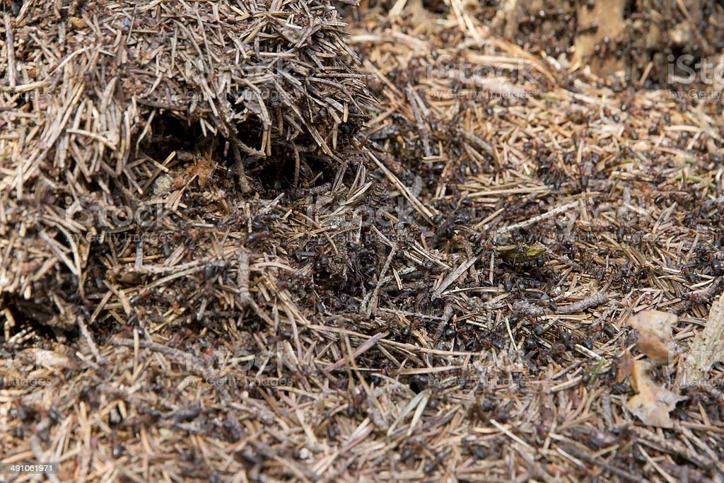 Lots of ants on the old wooden stump. royalty-free stock photo