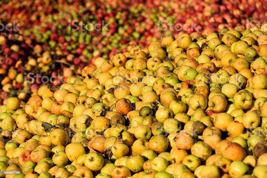 Lots of apples stock photo