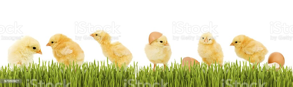 Lots of baby chicken and fresh green grass royalty-free stock photo