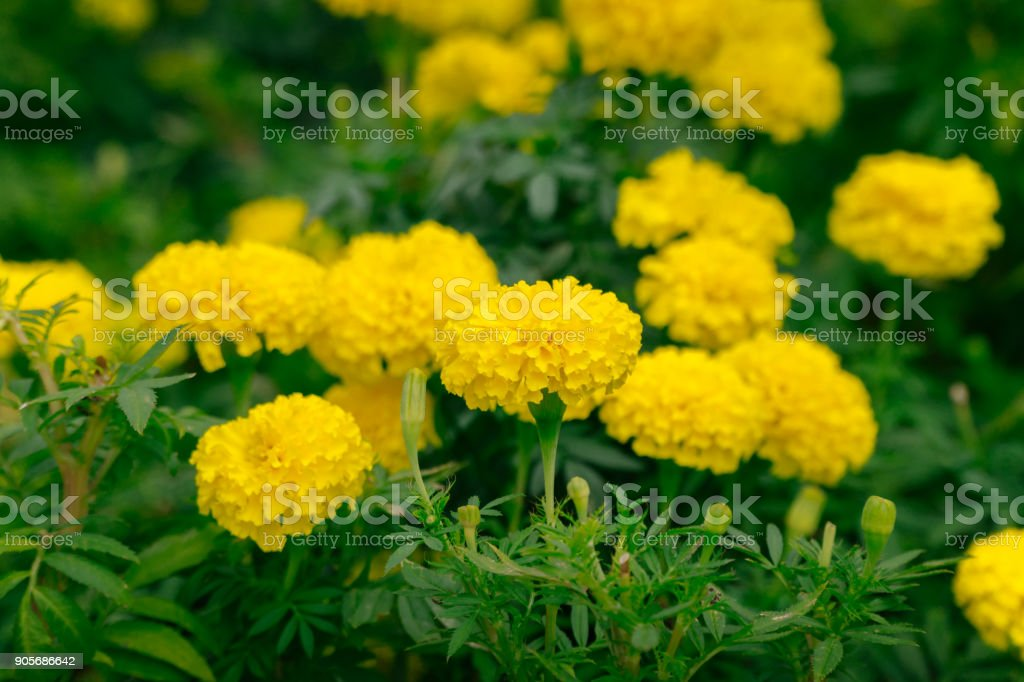 Lots of beautiful marigold flowers in the garden stock photo