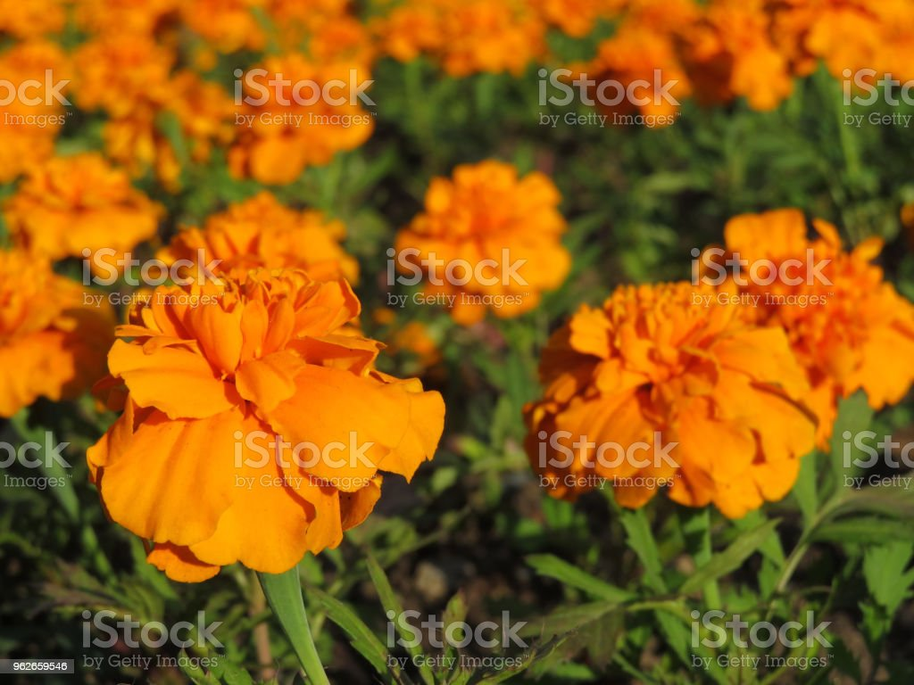 Lots Of Beautiful Marigold Flowers In The Garden Stock Photo More