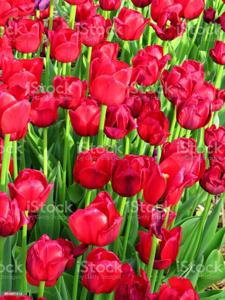 Lots of bright red tulips in a field royalty-free stock photo