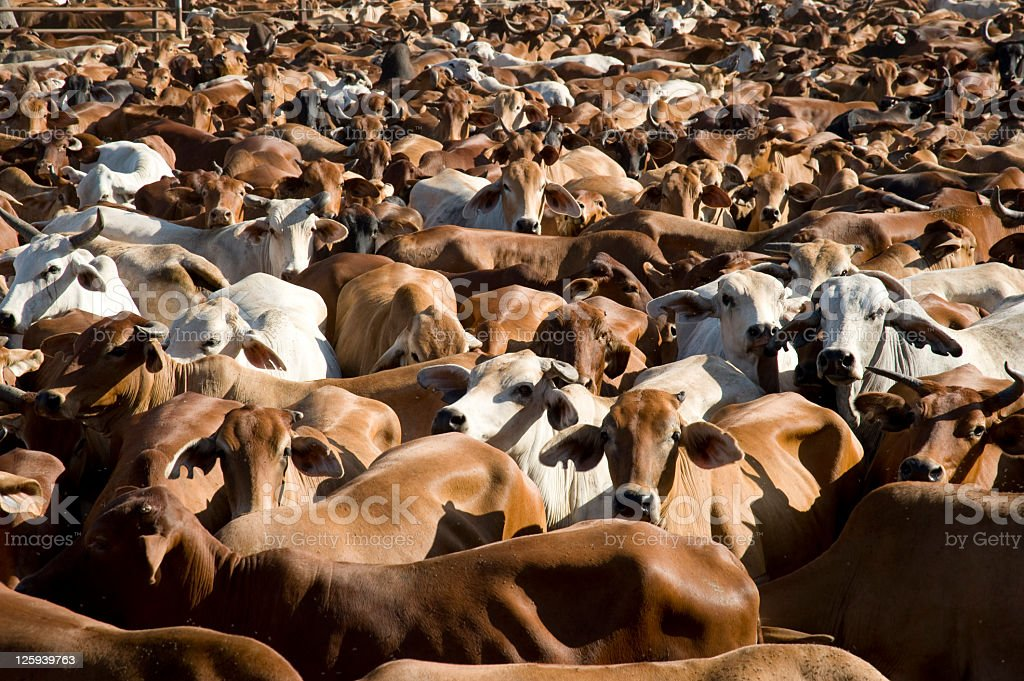 Lots of brown and white cattle stock photo