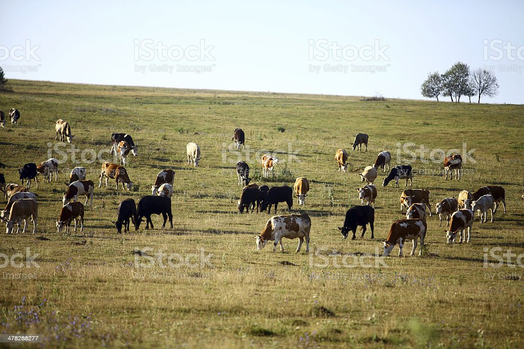 Lots of cows royalty-free stock photo
