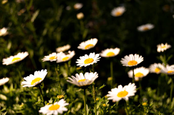 Lotes de daisies - foto de stock