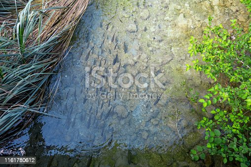 Top view of fish in a river at the Plitvice Lakes National Park. Plitvička Jezera, Croatia - June 25th 2019 - Official photography permission obtained by the Plitvice Lakes National Park and available on request.
