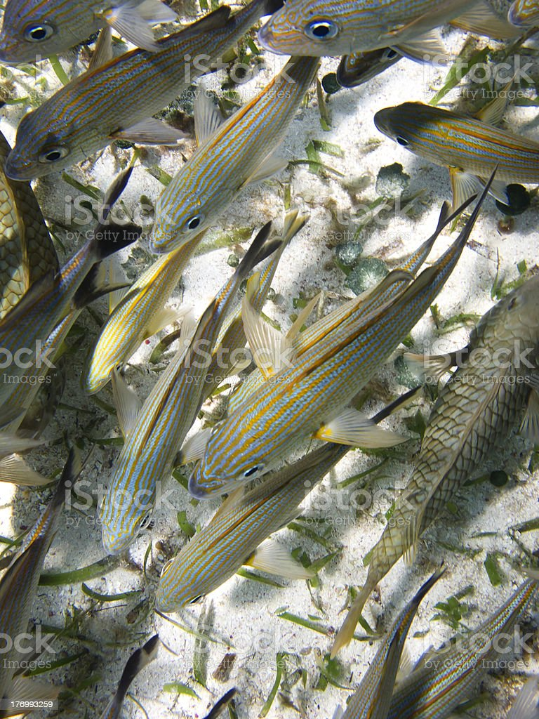 Lot's of fish royalty-free stock photo